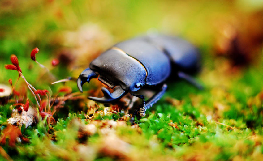 stag beetle Stag Beetle One Animal Moss Close-up Macro Macro Photography Macro_collection Female Tongs Animal Insect Beetle Green Color Selective Focus Animal Wildlife Threatened Species Invertebrate Nature Flower Plant