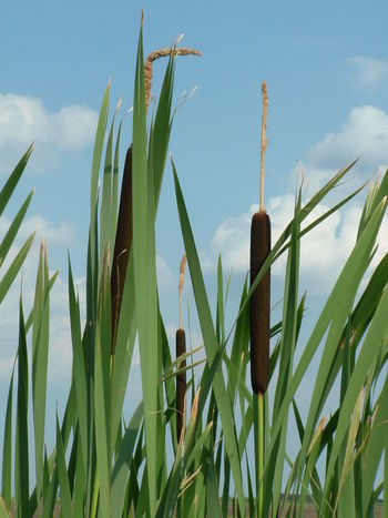 In the Reed Cloud Cloud - Sky Green Color Growing Low Angle View Nature Plant Reed Sky