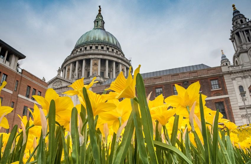 Paint The Town Yellow St Paul's Cathedral, London Yellow Architecture Building Exterior Built Structure Flower Day Low Angle View Dome Daffodil Outdoors Plant Sky Growth No People London St Paul's Cathedral
