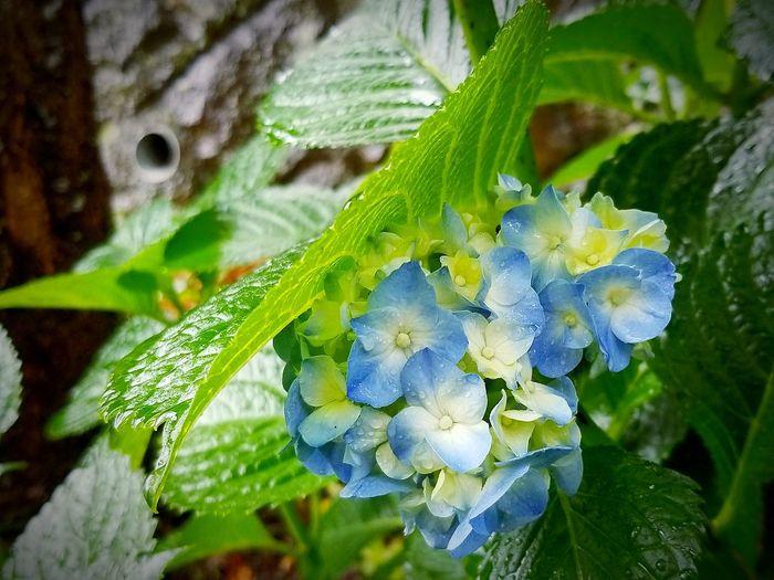 梅雨入りかなぁ〜。紫陽花の花が雨やどりしてました。 雨の中 紫陽花 梅雨入り お仕事 ごちそうさまでした 美味しい ランチ お昼ごはん 修善寺 蕎麦 禅寺そば 伊豆 Leaf Close-up Green Color