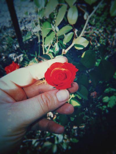 🌹 Rose -