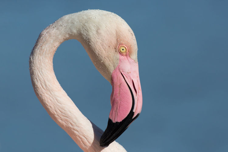 Close-Up Of Flamingo Against Clear Blue Sky