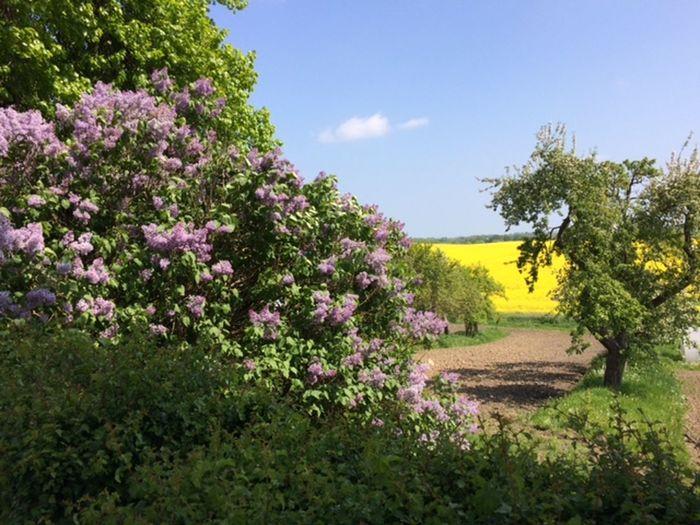 Fliederblűten Flower Growth Outdoors Paradise Springtime Wachstum Üppigkeit