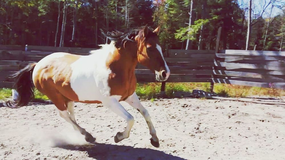 BlackJack Painthorse