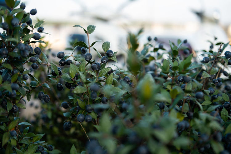 Berry fruits Growth Plant Selective Focus Beauty In Nature Fruit Close-up Green Color Leaf No People Healthy Eating Food Food And Drink Day Plant Part Nature Berry Fruit Flower Tree Outdoors Freshness