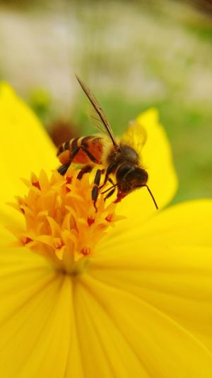 bee n pollen Flower Head Flower Perching Pollination Yellow Petal Insect Zinnia  Close-up Animal Themes