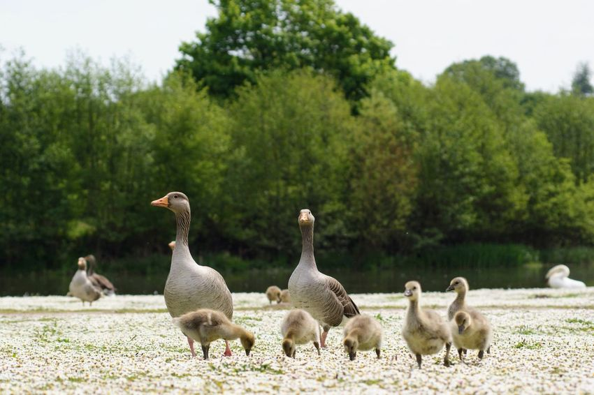 Animal Animal Family Animal Themes Animal Wildlife Animals In The Wild Bird Cygnet Day Field Flock Of Birds Focus On Foreground Goose Gosling Group Of Animals Land Large Group Of Animals Nature No People Outdoors Plant Tree Vertebrate Young Animal Young Bird