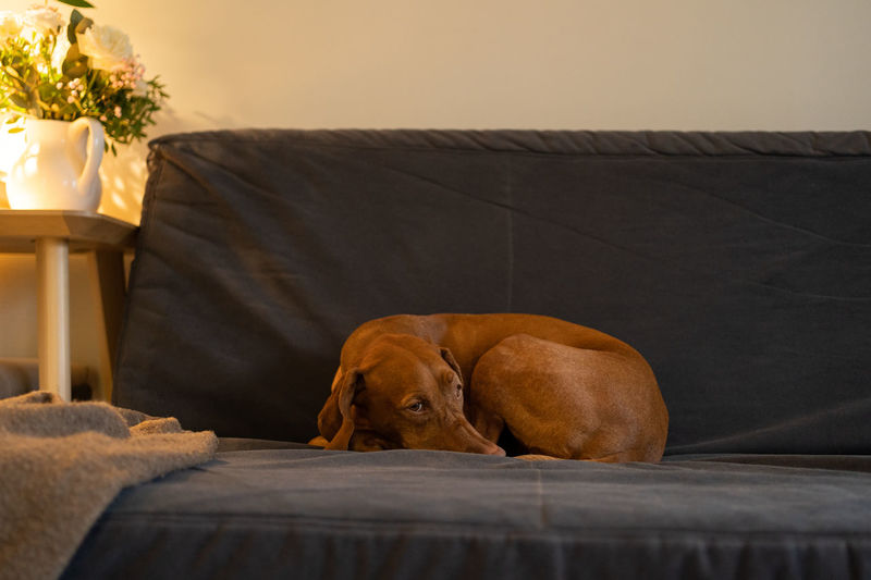 Sad wirehaired vizsla dog bored while waiting her owner from work, lying on couch at home, feel cold