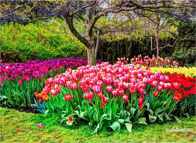 HDR Tulips....... Tulips Flowerporn HDR Collection EyeEm Best Shots - Nature
