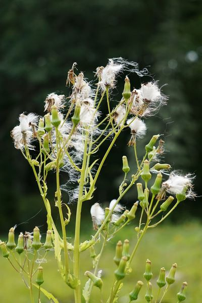 Dandelions Plant Growth Flower Wildflower James L Goodwin Forest Connecticut Gone To Seed