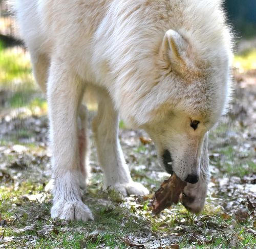 Feeding time Wolf Animals Wolfs  Color White White White Color Nature Nature_collection Nature Photography Wildlife Showcase April Canadian Wolf Wildlife & Nature Captivity Save The Nature Savetheanimals