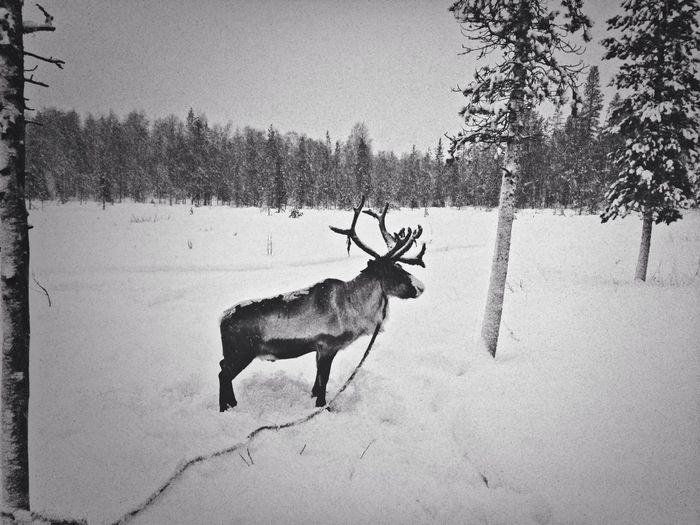 Taking Photos in Lapland ! Beautiful reindeer farm