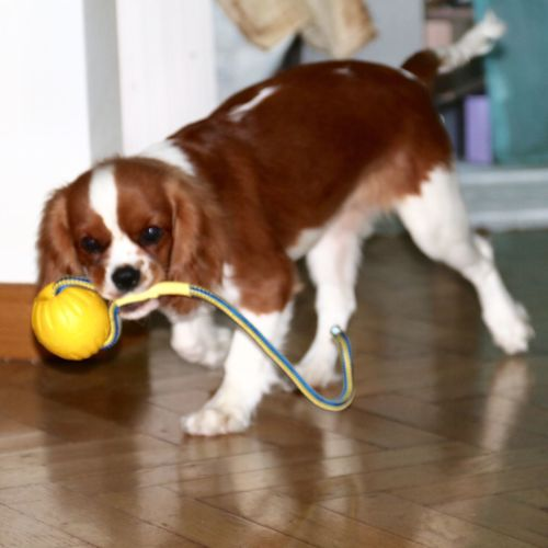 Cavalier King Charles The Week on EyeEm From My Point Of View Blenheim Cavalier King Charles Spaniel Ball In Mouth Moving Looking At Camera Indoors  EyeEm Selects Indoors  Dog Pets One Animal Domestic Animals Mammal Animal Themes Full Length Close-up No People Day