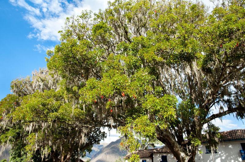 Pisonay Tree Peru Pisonay Tree Pucara