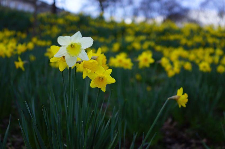 Edinburgh Flowers Showcase April Urban Spring Fever Pastel Power Standing Out Daffodils Spring