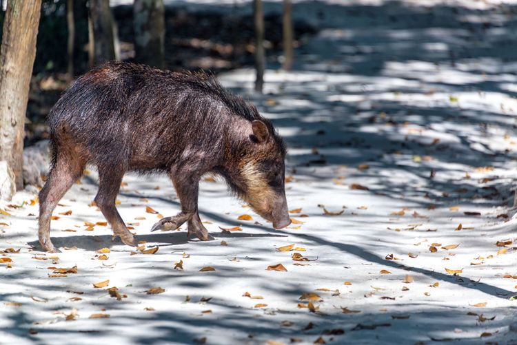 Side view of peccary walking on field at calakmul biosphere reserve