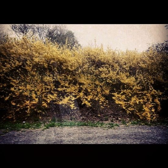 One thing about forsythia. .. Landscape Happyvalley Hedges Blooming spring vibrant