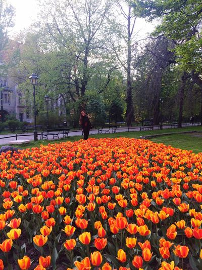 Tulips Flowers Park Weekend