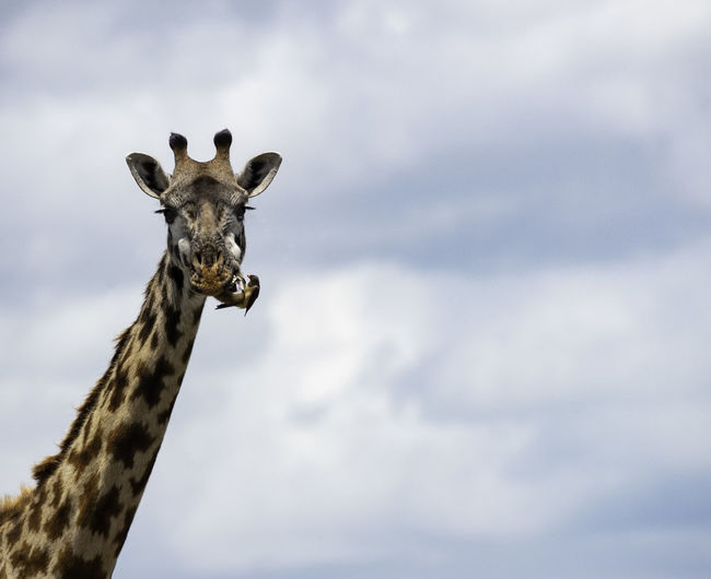 Low angle portrait of giraffe against cloudy sky