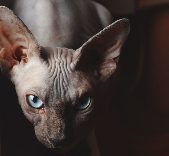 Close-Up Portrait Of Sphynx Hairless Cat At Home