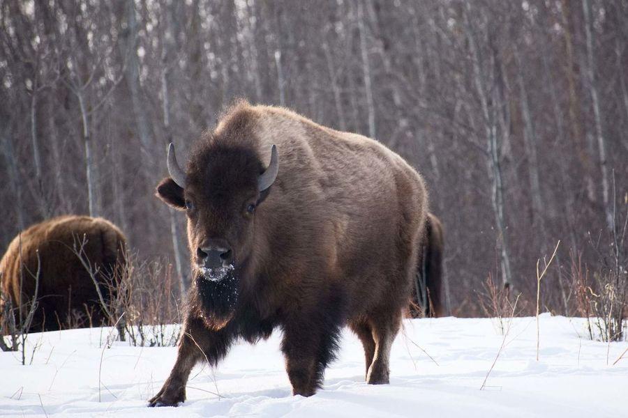 Bison posing Alberta Canada Springtime Snow No People Crisp Air Outside Bison Nature Wildlife Large Animal National Park Trees Winter Wilderness