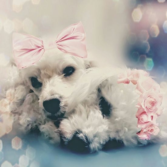 My Dogs Are Cooler Than Your Kids Dog Love Dog Sleeping  I Love My Dog Poodle Bichonfrise Pink Roses Pink Glitter