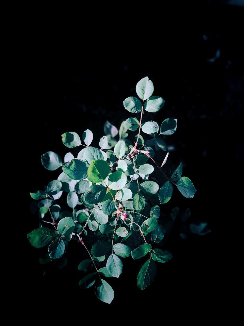 leaf, plant part, growth, plant, green color, nature, beauty in nature, close-up, no people, freshness, night, vulnerability, fragility, high angle view, selective focus, studio shot, flower, outdoors, black background, clover, small