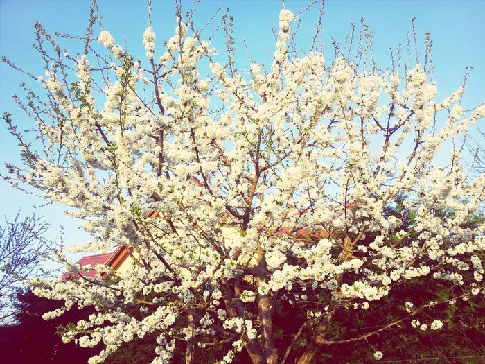 Cherrytree Without Cherrys WithE Its Just Beautiful