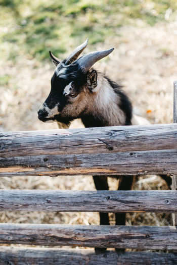goat behind a