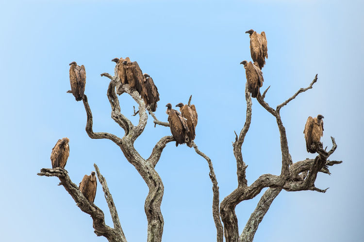 Sky No People Nature Plant Day Clear Sky Low Angle View Tree Beauty In Nature Blue Tranquility Branch Outdoors Bird Close-up Perching Group Of Animals Wood - Material Brown Animal Wildlife Dead Plant
