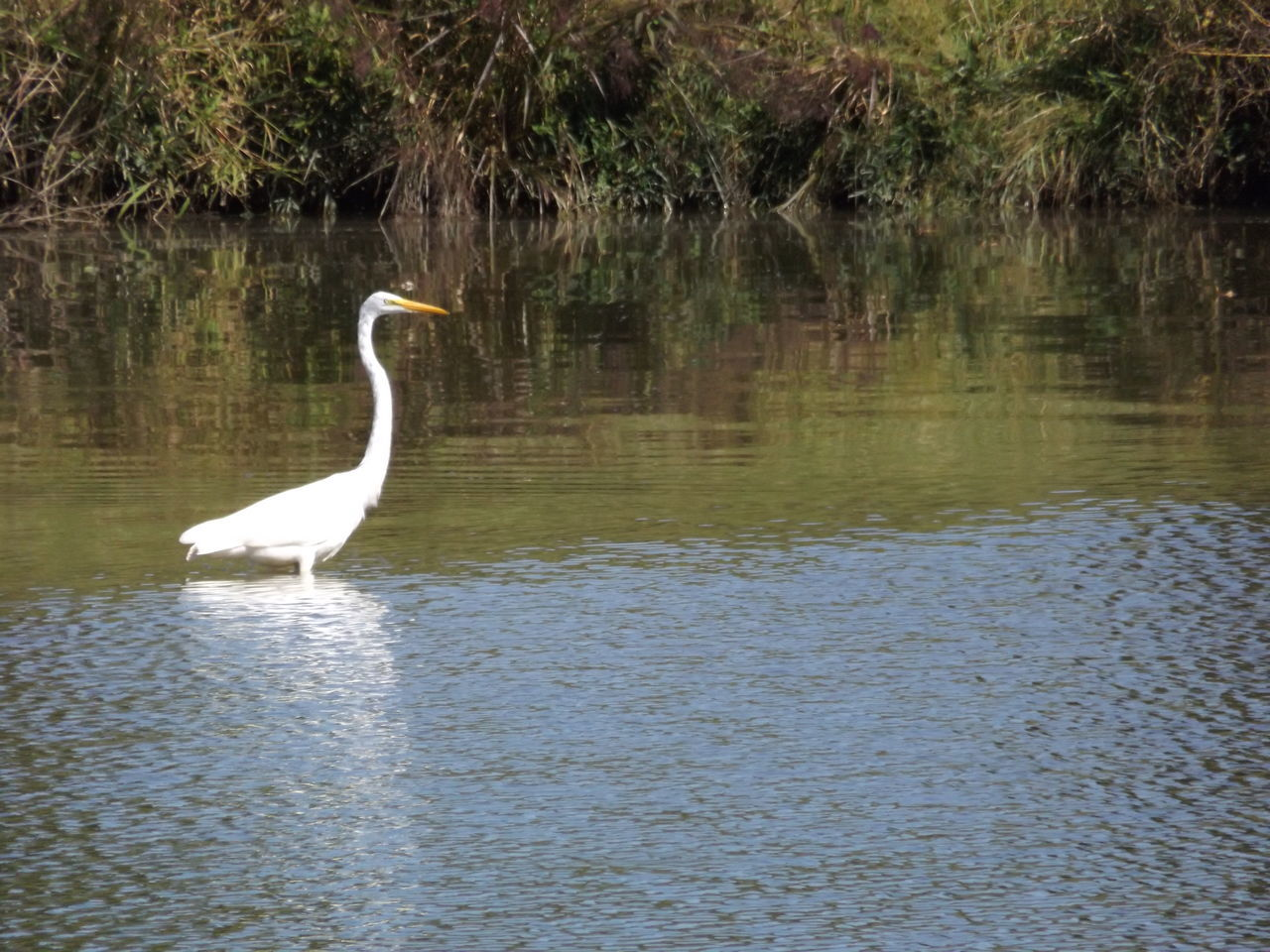 animals in the wild, animal themes, one animal, bird, animal wildlife, lake, water, reflection, white color, great egret, heron, nature, egret, day, no people, outdoors, gray heron, beauty in nature, swan