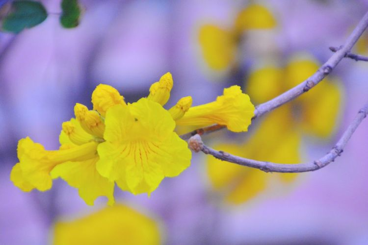 黃花風鈴木 Golden Trumpet-tree 🌷 Flowers 🌹