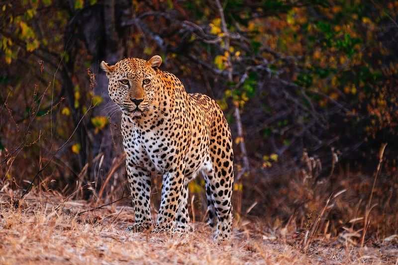 Leopard Standing On Field Against Tree