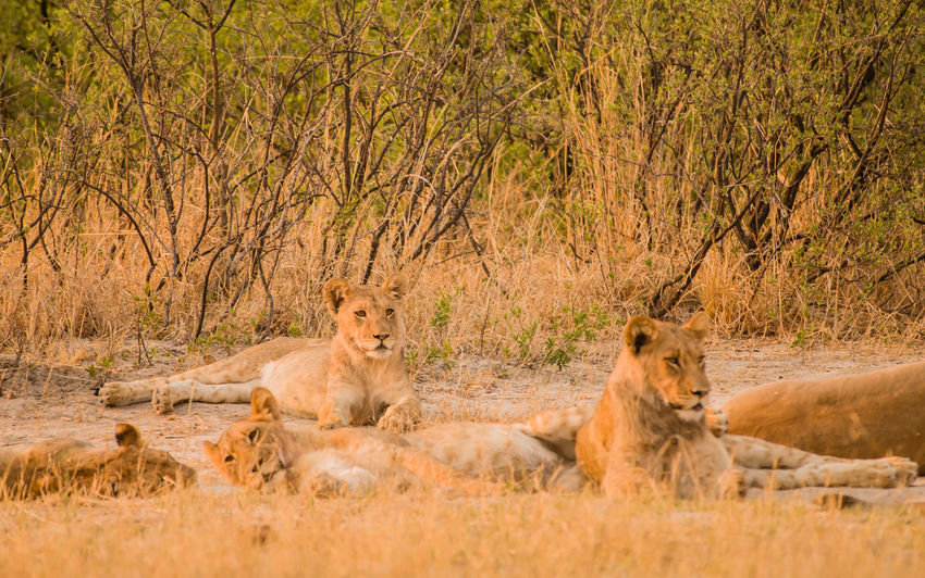 Lioness in the Savannah of in Zimbabwe, South Africa Big Cats Cat Of Prey Charara Safari Area Lake Kariba National Park Nature Savannah South Africa Zimbabwe Africa Animal Animal Themes Kariba Landscape Lion Female Lioness Mane National Parks Pack Safari Wildlife