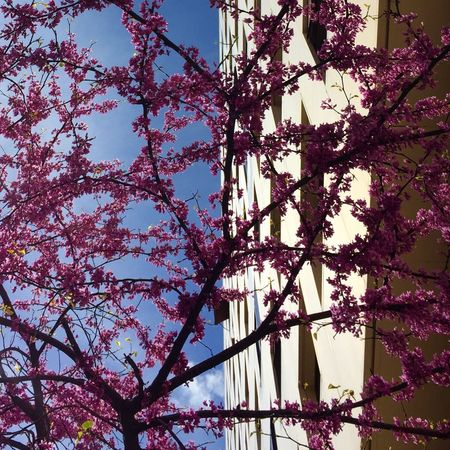 Printemps Springtime Spring Spring Flowers Lookingup IPhoneography Iphoneonly Iphonephotography TheWeekOnEyeEM Showcase March Urbanphotography Eye4photography  Architecturelovers Architectural Detail Tree_collection  Streetphotography Popular Photos Pastel Power