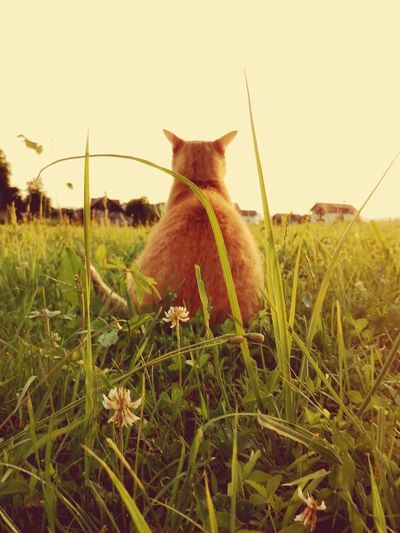 Cat sitting on grass against clear sky