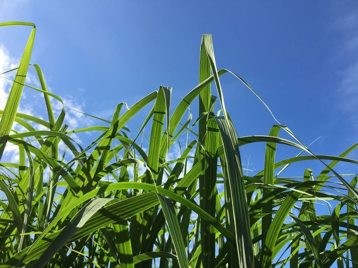 Low angle view of crops growing on field against blue sky
