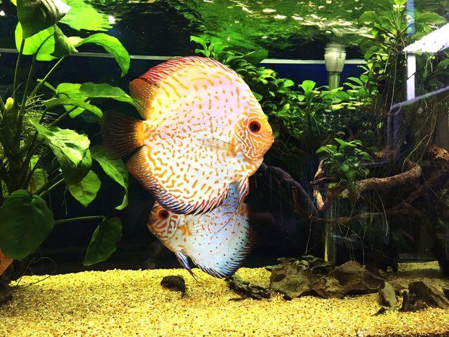 Luigiamendola One Animal Plant Fish discus Discus amazzonica Amazzonia aquarium Aquarium Tank acqua dolce Acqua Dolce Fresh Water River Fiume Nature