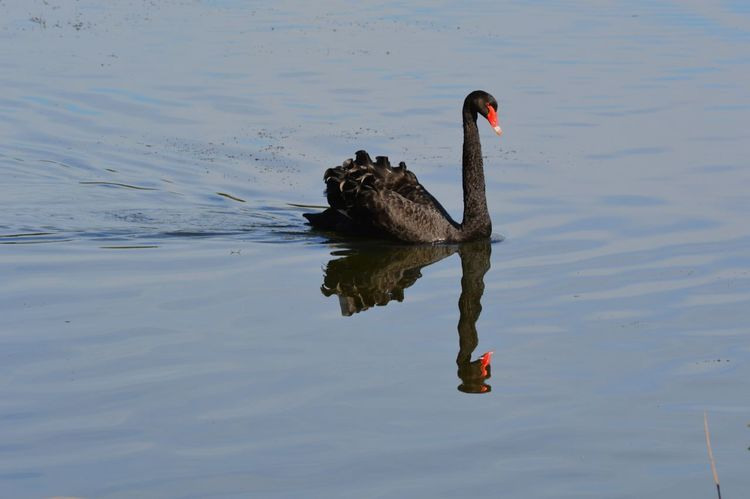 Black Swan Mirror Image Nature Nature Photography Reflection Trentham Gardens Animal Themes Animal Wildlife Animals Animals In The Wild Beauty In Nature Bird Black Swan Black Swan On A Lake Black Swan On Water Day Lake Lakeside Nature No People One Animal Ornithology  Outdoors Reflection Swan Swimming Water Water Bird