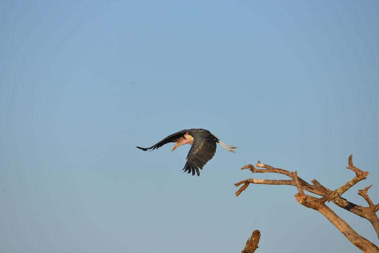 Marabu Bird Of Prey Bird Spread Wings Flying Clear Sky Mid-air Sky Animal Themes