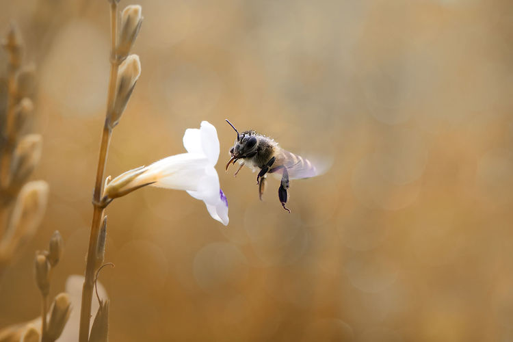 Close-Up Of Insect Buzzing By White Flower