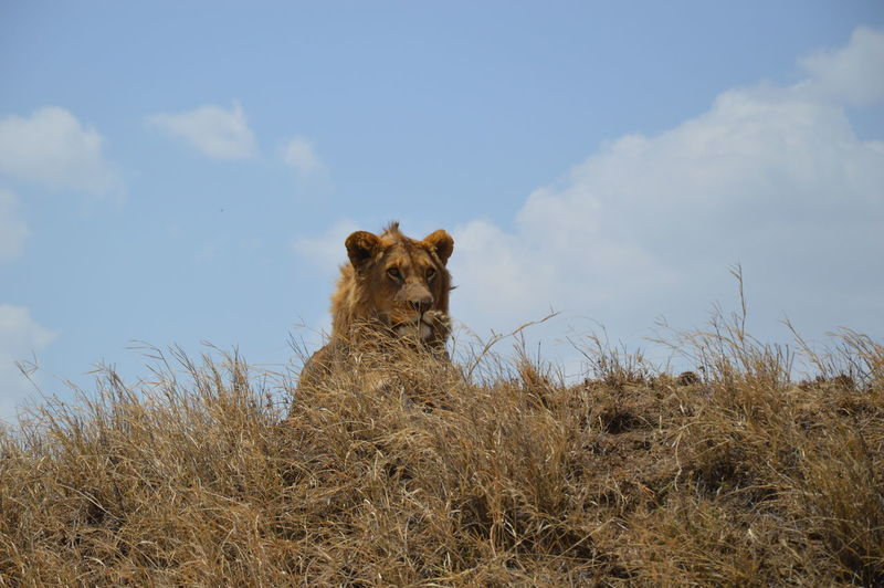 Low angle view of lion on field against sky