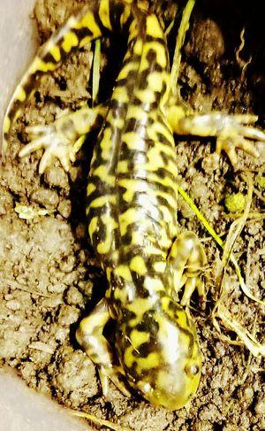My lil Yoshi Tiger Salamander Pets Corner Up Close And Personal Nature Photography Animal Markings Animal Themes Animal Wildlife Mammal Day