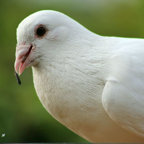 White Pigeon Feeding The Birds Bird Photography Birdwatching Birds_collection Nature_collection Nature Photography This Week On Eyeem Popular Photos