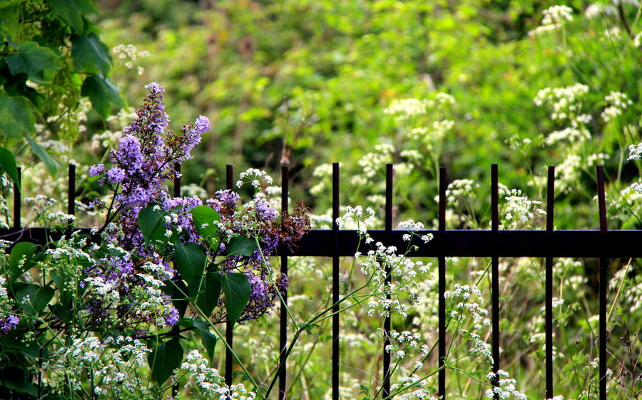 Beauty In Nature Close-up Cow Parsley Day Flower Fragility Freshness Growth Iron Railings Lilac Nature No People Outdoors Overgrown Overgrown And Beautiful Plant Purple Railings Vine Weeds Wisteria