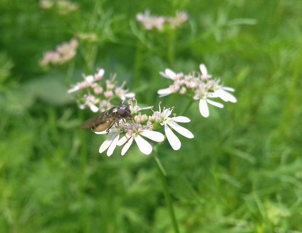 Honey Bee Flowers Coriander Flower Vegetable Flower Green Insect Animals In The Wild One Animal Animal Themes Animal Wildlife Flower Butterfly - Insect Plant Nature Full Length Fragility No People Day Close-up Outdoors Pollination Perching Spread Wings Beauty In Nature Freshness