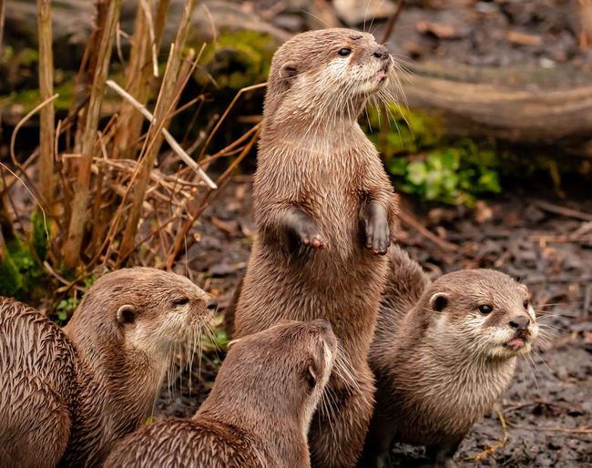 The Look out. Animal Themes Group Of Animals Animal Animal Wildlife Animals In The Wild Mammal Vertebrate Otter Nature No People Day Focus On Foreground Underwater Land Three Animals Young Animal Outdoors Side View Animal Family Jason Gines My Best Photo