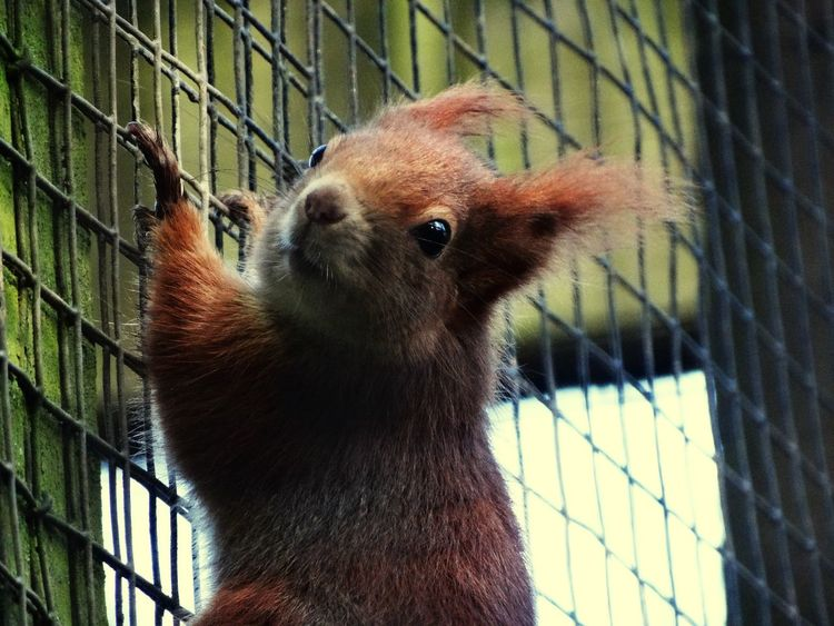 Red squirrel. Squirrel Red Cute Animals One Animal Small Red Squirrel Nature_collection Squirrel Climbing Close-up Close Up Zoology Climbing Beautiful Animal Animal Themes Animal Photography Animal Head  Wire Mesh Fence Wildlife Wildlife & Nature Wild Fun Nature Nature Photography