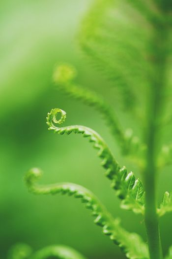 Beauty In Nature Close-up Curled Up Day Fern Focus On Foreground Fragility Freshness Green Color Growth Leaf Nature No People Outdoors Plant Plant Part Selective Focus Tendril Tranquility Vulnerability