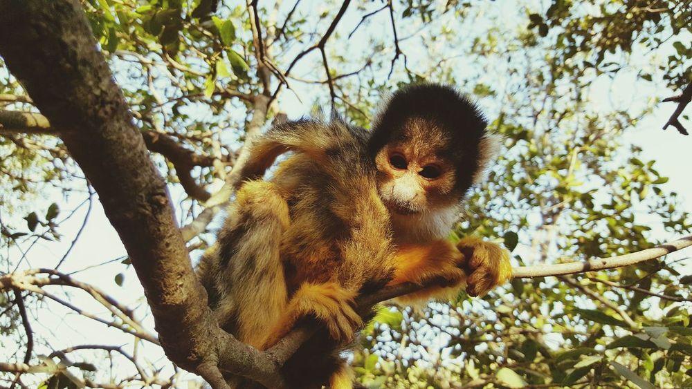 Monkey Squirrelmonkey MonkeyForest Monkeyforrest  Israel